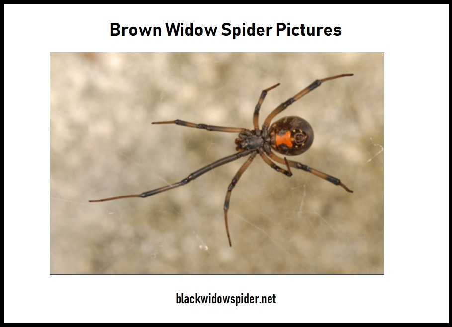 Brown Widow Spider Pictures