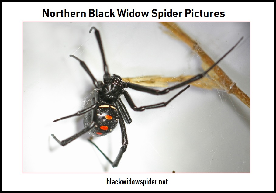 Northern Black Widow Spider Pictures