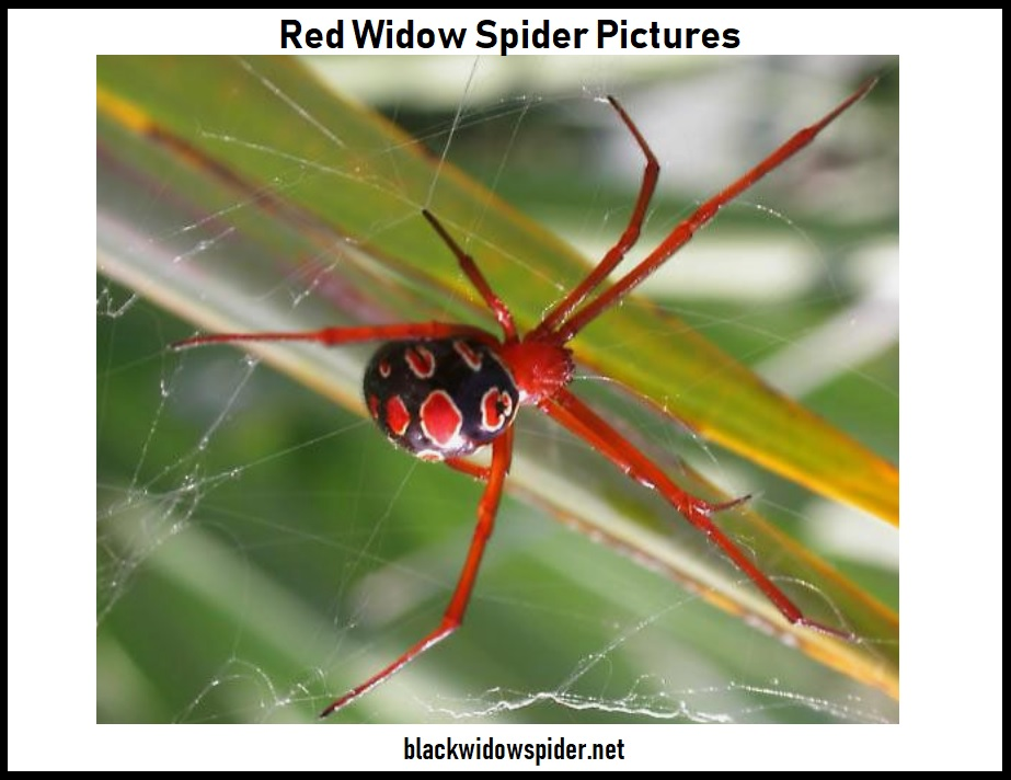 Red Widow Spider Pictures
