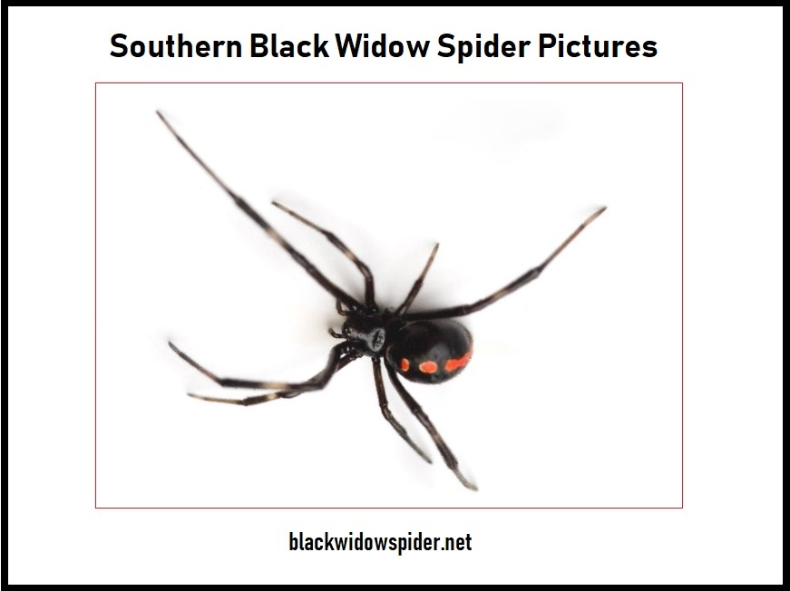Southern Black Widow Spider Pictures