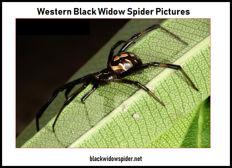 Western Black Widow Spider Pictures