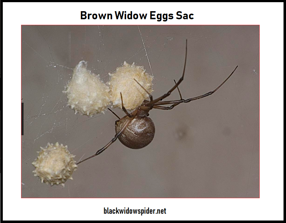 Brown Widow Eggs Sac