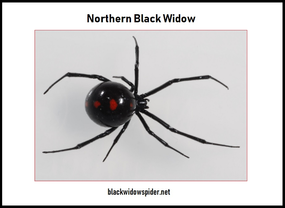 Northern Black Widow